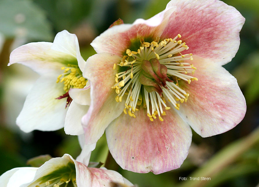 Helleborus and Homelessness