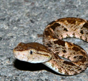Figure Bothrops