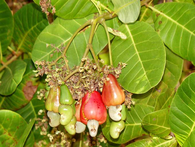 Anacardium occidentalis in bursitis