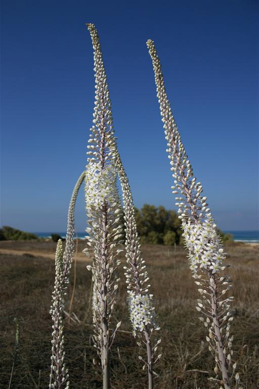 Figure 199-Sea-onion-flowering