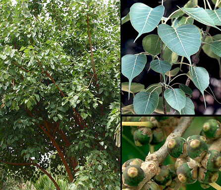 Interhomeopathy - Ficus Religiosa as growth hormone