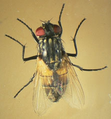 Musca domestica_A case of