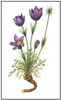 Description: Pulsatilla vulgaris